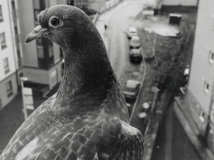 Stuck Monochrome City City Wildlife Notjustanypigeon Animal Themes Animals In The Wild Animal Wildlife No People Focus On Foreground Day Close-up Outdoors Nature EyeEm Ready   EyeEmNewHere