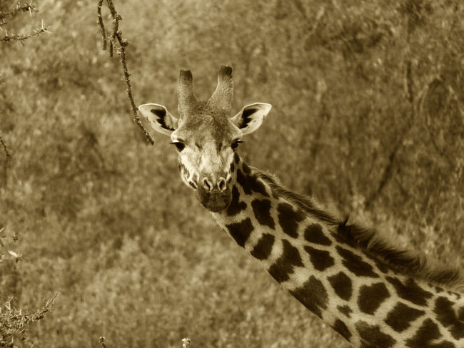 Kenya Sepia Toned Wildlife & Nature Wildlife Photography Africa African Beauty African Giraffe Animal Themes Animal Wildlife Animals In The Wild Beauty In Nature Blurred Background Giraffe Hell's Gate Hell's Gate National Park Nature One Animal Outdoors Portrait Safari Safari Animal Sepia Photography Sepia_collection Spotted Wildlife