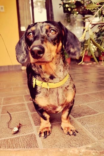 ? Dachshund Salchichas Dog Love