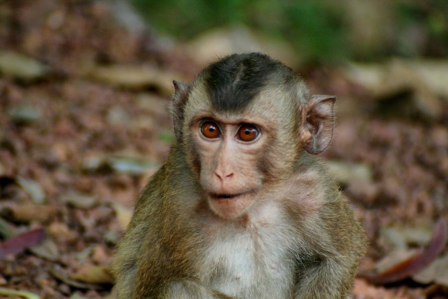 Monkey Animal Themes Animals In The Wild Mammal Focus On Foreground One Animal Looking At Camera Outdoors Portrait Animal Wildlife Day No People Young Animal Close-up Nature Macaque Wildlife & Nature Wildlife Sitting Canonphotography Angkor Wat Cambodia