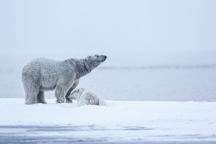 Polar bears on snow covered landscape by lake
