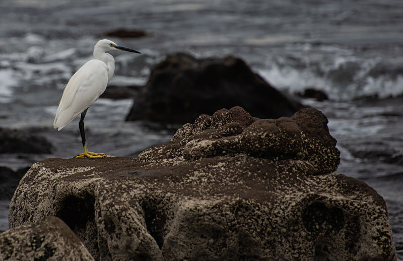 Little egret Bird Egret Animals In The Wild Animal Themes Animal Wildlife Rock - Object Solid Rock One Animal Animal Vertebrate Water Perching Focus On Foreground No People Sea Beach Nature Flowing Water Flying