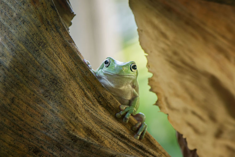 Close-up portrait of frog on dry leaf
