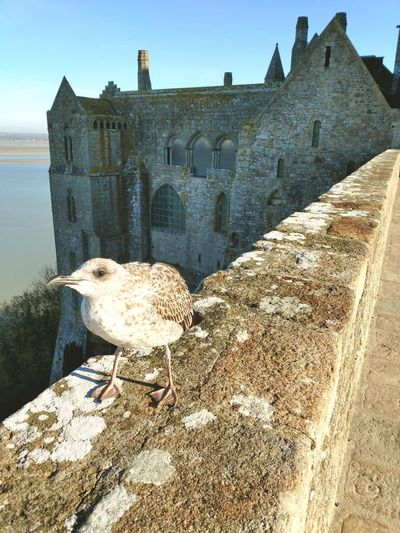 Mont Saint-Michel Bird Ancient Civilization The Past Historic Building Historic Castle Old Ruin