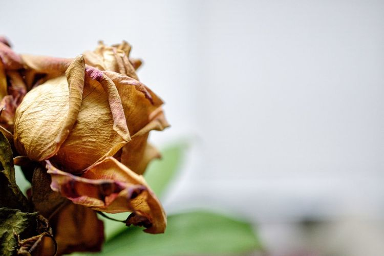 Close-up of wilted rose plant