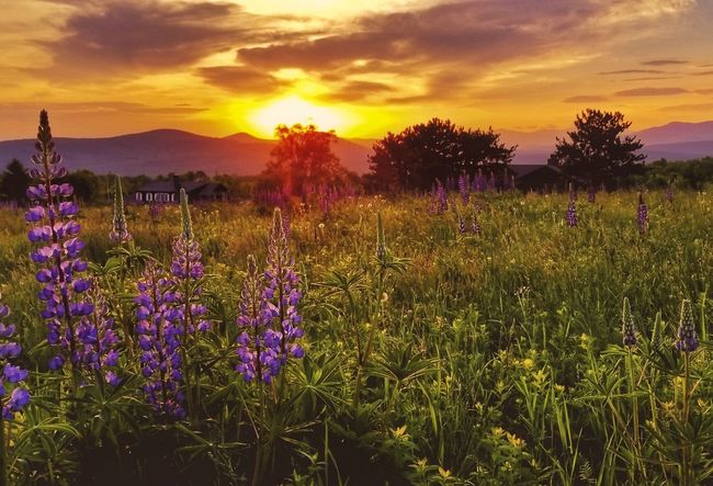 Wishing you a Good Afternoon Sunset Flower Purple Field Nature Cloud - Sky Beauty In Nature Plant Summer Dramatic Sky Sun Landscape Vibrant Color Sky Sunlight Gold Colored Multi Colored Scenics Tree Dusk Lupines EyeEm Best Shots EyeEm Nature Lover EyeEm Best Shots - Nature