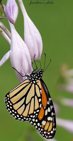Monarch butterfly Beauty Butterfly Wings Outdoors Nature Photography Macro Insect Blackandorange Purple Flower Macro Photography Monarch Butterfly Butterfly And Flowers