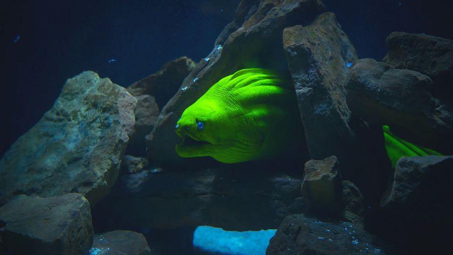 Green Moray Eel Amidst Rocks Undersea