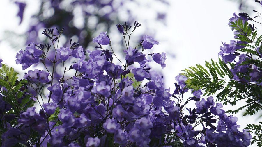 蓝花楹 Plant Purple Flower Flowering Plant Beauty In Nature Growth Freshness