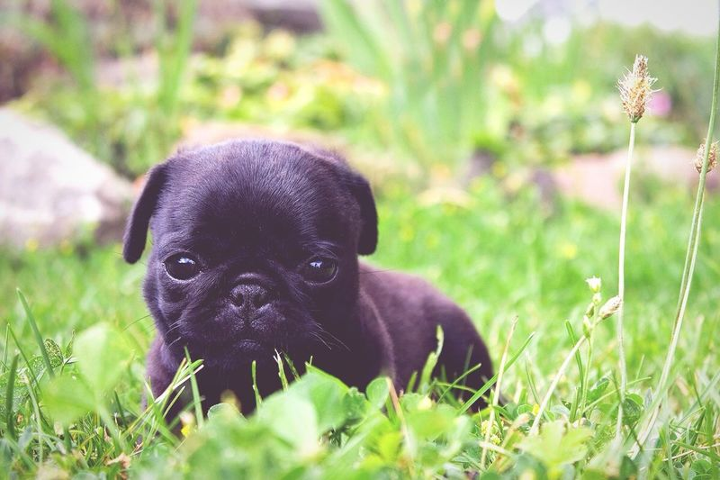 Pets Corner Pets Cute Pets Dog Doggie Puppy Puppy Love Dogs Pug Summer Dogs