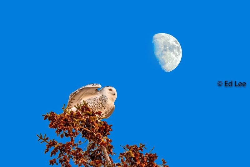 Snowy and the moon Focus Stacking Wildlife Photography Birds Of EyeEm  Owl Wildlife & Nature Snowy Owl Streamzoofamily Malephotographerofthemonth Animal Animal Themes Blue Animal Wildlife Bird Sky Vertebrate Beauty In Nature Nature Moon Clear Sky No People Outdoors Bird Of Prey