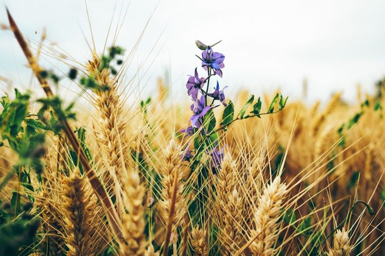 Kornblumenblau ... Plant Growth Agriculture Field Crop  Land Cereal Plant Close-up Beauty In Nature Farm Wheat Nature Rural Scene No People Focus On Foreground Landscape Flower Flowering Plant Day Selective Focus Outdoors Purple Stalk The Great Outdoors - 2019 EyeEm Awards My Best Photo