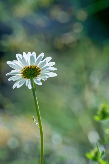 Just some Daisy