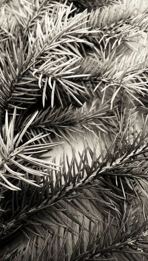Fir sprigs - black and white Nature Nature Backgrounds Black And White Grayscale Coniferous Pine Needles