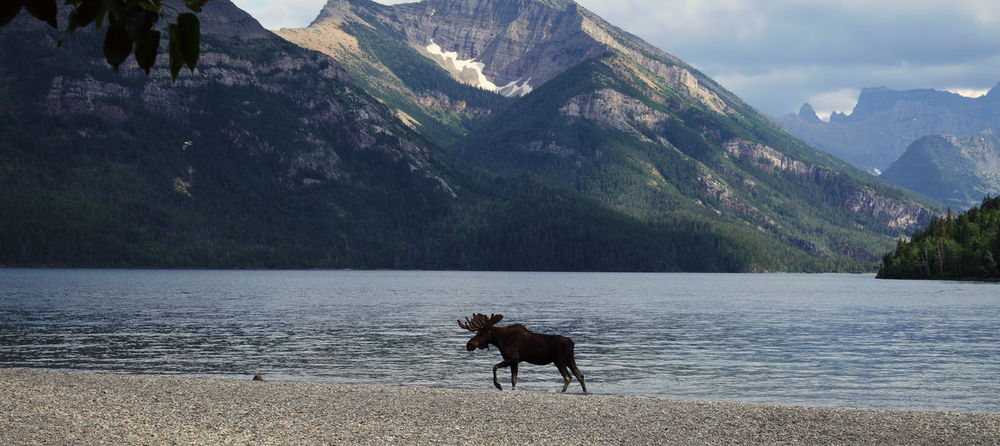 Moose in a lake with high mountains in background (Rocky Mountains Canada) Alberta Elk Moose Rocky Mountains Alberta Waterton Lakes National Park Wildlife & Nature Wildlife Photography Wildlife Photos Adventure Animal Wildlife Bull Moose Canada Lake Mountain Mountain Range Nature No People Outdoors Panorama View Rock Rocky Mountains Scenics - Nature Tranquil Scene Waterton Lake Wildlife_perfection
