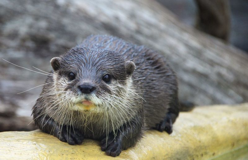 British Otters British Endangered Species Hanging Out Otter Reflection Whiskers Animal Portrait Animal Themes Animal Wildlife Animals In The Wild Close-up Curious Animals Cute Day Delicate Kitten Looking Mammal Nature No People One Animal Outdoors River Water Wet