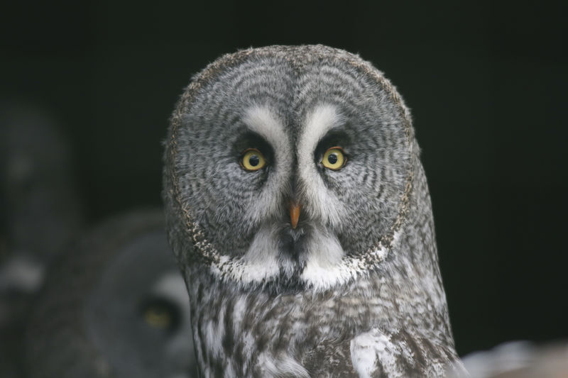 portrait of an great grey owl Great Grey Owl Nature Strix Nebulosa Animal Themes Animal Wildlife Animals In The Wild Bird Bird Of Prey Birds Birds Life Birds Theme Close-up Landscape Nature No People One Animal Outdoors Outdoors❤ Owl Owls Owls💕 Portrait Wood - Material