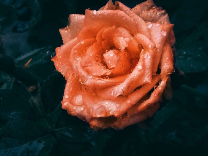 High angle view of wet rose in water