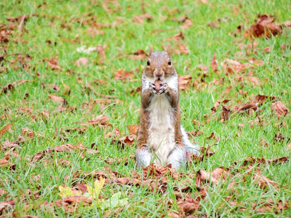 Grey Squirrel Eating Grey Squirrel Squirrel Foraging Forage Animal Wildlife Grass Animals In The Wild Plant One Animal Vertebrate No People Field Nature Land Young Animal Green Color Day