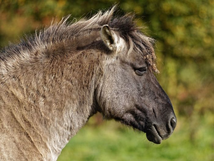 Horseface vs Tiny Konik Horse Animal Animal Themes One Animal Animal Wildlife Animals In The Wild Mammal Focus On Foreground Close-up Animal Body Part Side View Outdoors Profile View