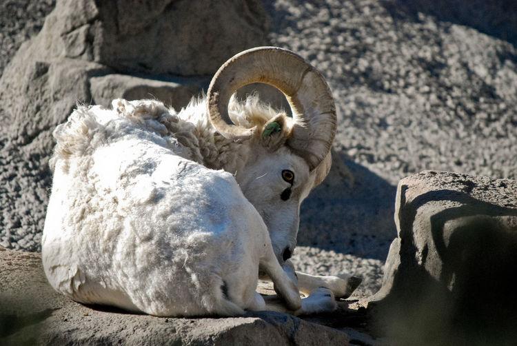 White Bighorn Sheep Lying On Rock At Denver Zoo