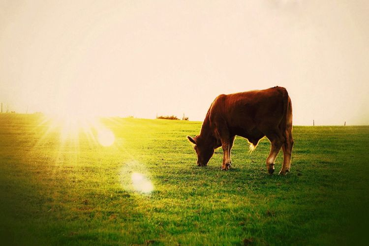 Grass Domestic Animals Field Livestock Grazing Sunlight Animal Themes Mammal Landscape Cow Sunset One Animal Nature Cattle Pasture Clear Sky Sun No People Agriculture Sky Animals In The Wild Country Travel Sunlight Sunset_collection