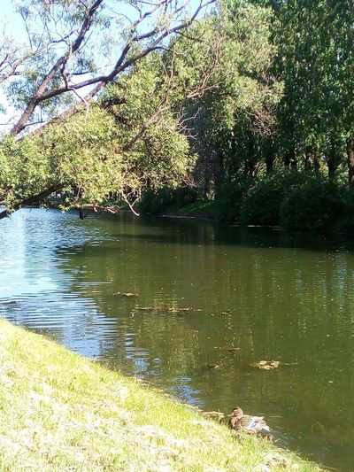 Bierd Sankt-Petersburg City Park Summer Forest Tree Water Lake Bird Reflection Green Color Woods WoodLand Tree Trunk Calm Duck