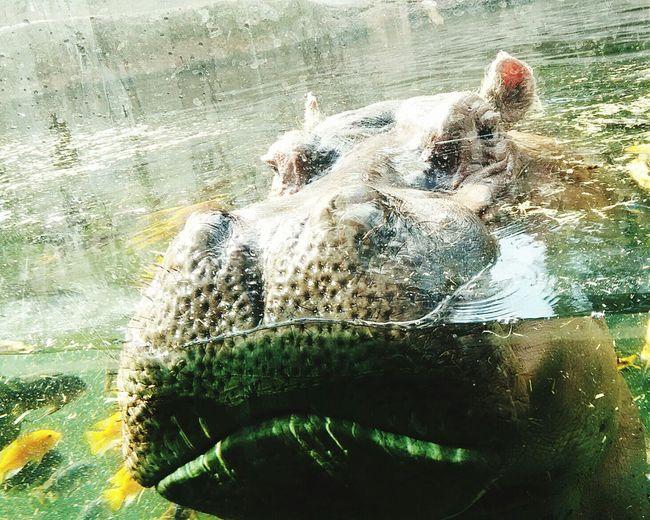 Hungry hungry hippo! Animal Photography EyeEm Animal Lover Hippo Zoo Life Taking Photos Eye4photography  Hey Big Guy