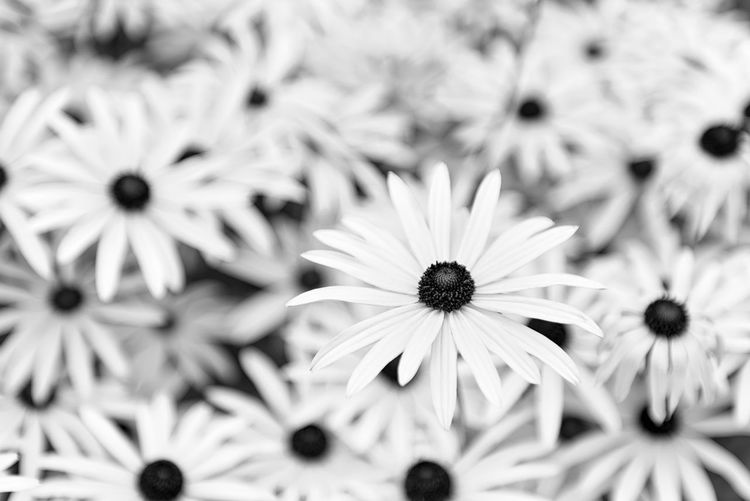Black Eyed Susan Black Eyed Susan Flower Flowering Plant Petal Freshness Flower Head Plant Beauty In Nature No People Nature Outdoors Close-up Growth Growth Botany Springtime Flowers Black And White Garden Gardening Nature Petals Backgrounds Background Wallpaper Backdrop