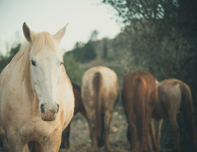 White horse portrait, three horses in the background