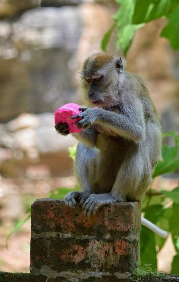 Monkey Ipoh Malaysia Pink Cupcake Animal Wildlife No People One Animal Mammal Animals In The Wild Cute Nature Outdoors Animal Themes Day Close-up Macaque Curiosity Cup Cakes Bun Pink Cake Bricks Pau I LOVE PINK  Visit Ipoh