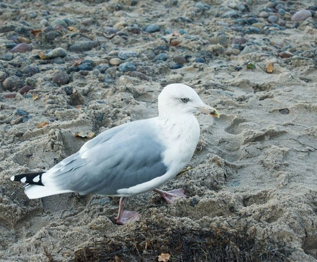 Animal Animal Themes Animal Wildlife One Animal Animals In The Wild Bird Vertebrate Seagull Perching No People Land Day Nature Beach Rock Side View Solid Focus On Foreground Close-up High Angle View