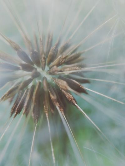 Fuzzy Explosion Fuzzy Seeds Nature Close Up Macro Photography Macro Macro Nature Flower Flower Head Full Frame Backgrounds Close-up Plant Dandelion Seed Dandelion Needle - Plant Part Plant Life Wildflower