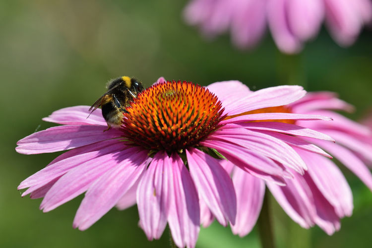 Pink echinacea flower with a bee on it
