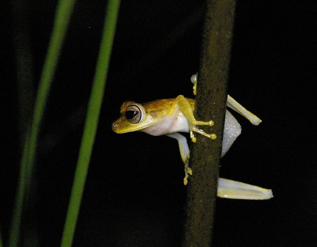 Amazonian tree frog, night shot. One Animal Beauty In Nature Wildlife Close-up Animals In The Wild Wildlife Photography Night Wildlife & Nature Amazon Yellow