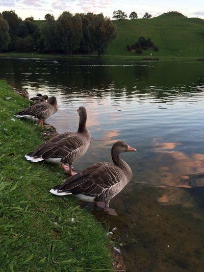 Germany München Ducks Olympia Park Kacsa Anyukámfotózta