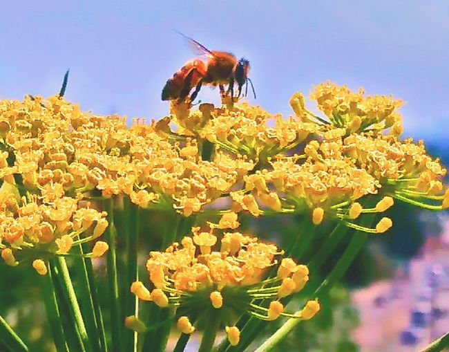 Buzzing Bee Flowers Nature Photography Nature Nature_collection Bee Buzzing Buzzin' Queen Anne's Lace Yellow Yellowporn Yellow Flower Yellow Color Outdoor Photography Outdoors Flower Flower Head Sky Close-up Plant