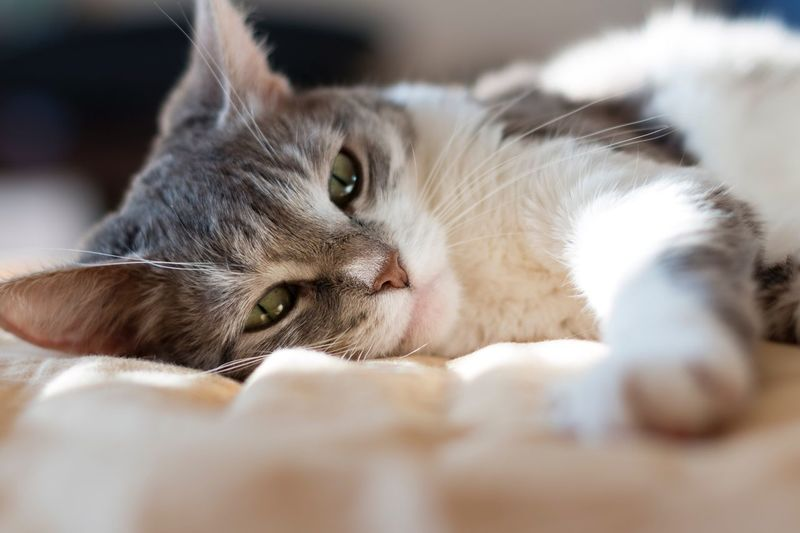 Pet Portraits Domestic Cat Pets Animal Themes Close-up Relaxation EyeEm Selects Sunlight Looking At Camera Day Still Life Photooftheday Light Colour Of Life Domestic Animals