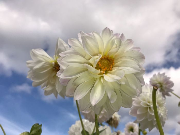 Close-up of white flowering plant against cloudy sky