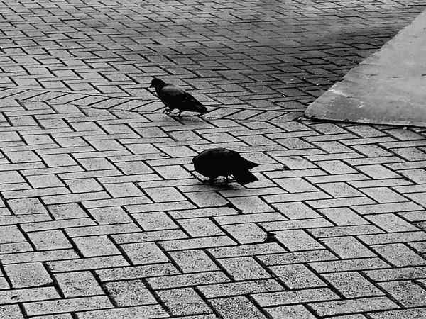 Palomas Pigeons Humacao Kanyn Puertorico