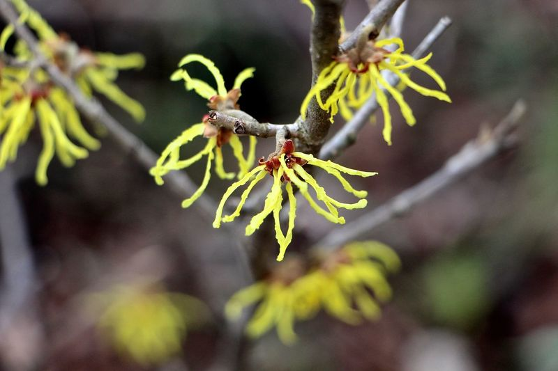 Witch hazel Beauty In Nature Beginnings Branch Bud Close-up Day Flower Focus On Foreground Fragility Freshness Green Color Growth Leaf Nature Nature Photography Nature_collection Easter Ready Outdoors Plant Selective Focus Stem Twig Witch Hazel Woods Yellow Flower