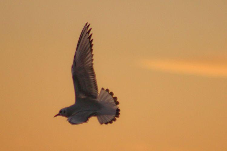 Close-up of eagle flying against orange sky
