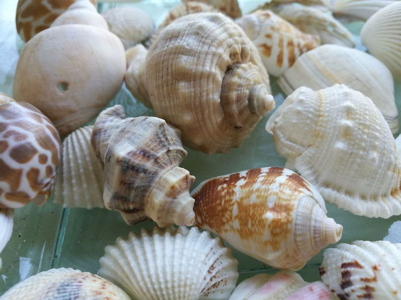 Animal Shell Seashell No People Nature Sea Close-up Sea Life Day Indoors  Animal Themes Conchiglie Marine Conchiglie EyeEm Best Shots - Nature Outdoor Photography Color Photography