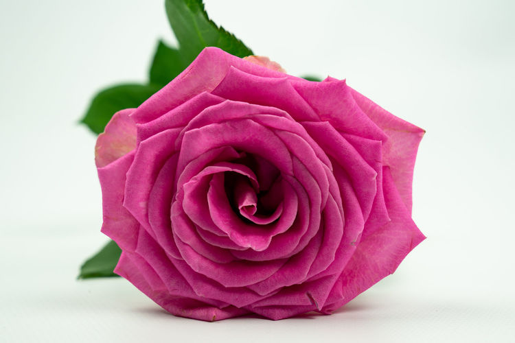 pink rose lying down on his side, isolated on a white background Flower Flowering Plant Rosé Plant Rose - Flower Beauty In Nature Close-up Petal Freshness Vulnerability  Flower Head Inflorescence Fragility Pink Color No People White Background Softness Studio Shot Pink Rose Nature