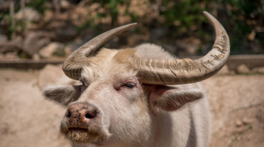 Close-up of buffalo at farm
