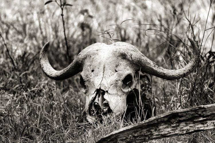 Buffalo skull on field