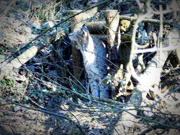 Tired lynx