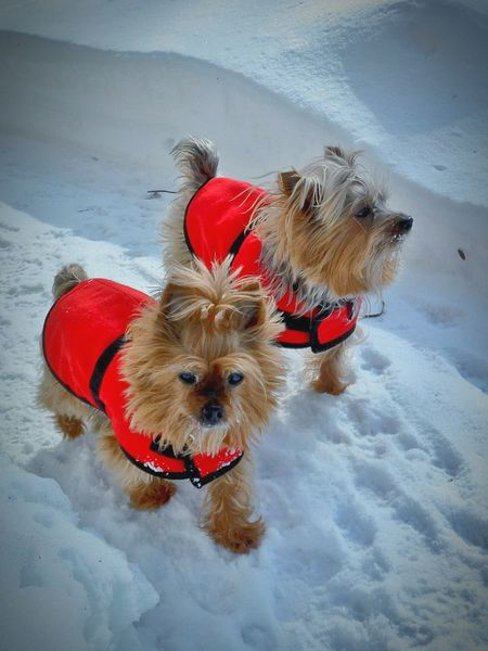 Furbabies Bestfriend Puppy Love Yorkshire Terrier Australian Silky Terrier Playful Pups Love Pets Snow Cold Temperature Animal Themes Winter Pet Clothing No People Domestic Animals Outdoors Dog Red Day Small Small Dogs  Reflection Tail Close-up Tiny Freshness Furrybabies Yorkshire Terrier♡ BestFriendsForLife Shades Of Winter