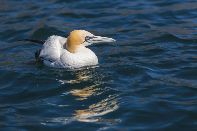 Close-up of gannet swimming in sea