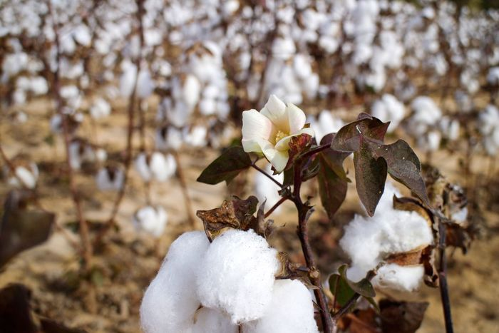 Nature Beauty In Nature Focus On Foreground Outdoors Flower Cotton Field Cotton Cotton Flower Alabama